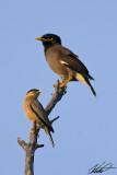 Common myna & Brahminy starling