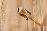 Panuridae - Bearded Reedling