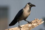Corvidae - Crows, Jays