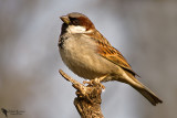 Passeridae - Old World Sparrows, Snowfinches