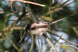 Aegithalidae - Bushtits