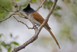 Asian paradise-flycatcher (Terpsiphone paradisi) female