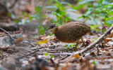 Scaly Breasted Partridge