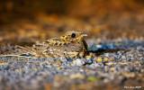 Savannah Nightjar