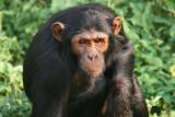 Ngamba Island Chimpanzee Sanctuary, Uganda, Jan. 2007