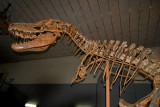 Tarbosaurus Baatar skeleton, Museum of Natural History