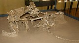 Fighting Dinosaurs, Velociraptor and Protoceratops, unearthed in the Gobi Desert, Museum of Natural History