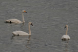 Mute Swans and Whooper Swan, Lake Erkhel