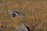 Citrine Wagtail takes flight, Lake Khuvsgul