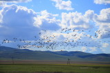 Flock of Demoiselle Cranes near Kharakhorum