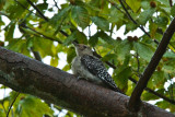 Young Red Bellied Woodpecker