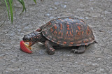 Eastern Box Turtle Eating a Peach