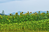 Sunflowers with NC Mountains