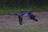 Turkeys in Asheville NC