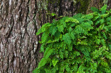 Small Ferns on Very Old Oak Tree