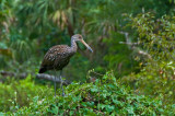 Limpkin on the Wekiva River