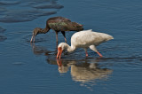 Ibis Working the Bottom Together
