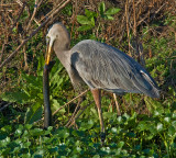 Great Blue Heron About to Eat an Amphiuma