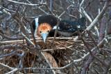Nesting Frigatebird