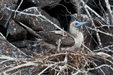 Red-footed Boobie on Nest