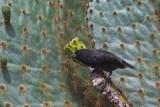 Medium-Ground Finch