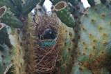 Medium-Ground Finch in Nest