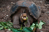 Galapagos Tortoise Eating