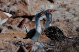 Blue-footed Boobies Getting Frisky