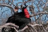 Magnificant Frigatebirds