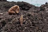 Sea Lion and Iguana