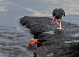Oyster Catcher Eyeing Sally Lightfoot Crab Dinner