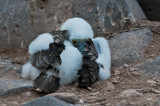 Blue-footed Boobie Chick