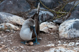 Blue-footed Boobie on Nest