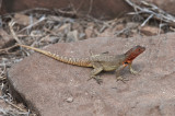 Lava Lizar