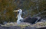 Waved Abatross Chick