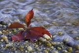 Leaf on Edge of Potomac River