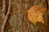 Leaf on Tree Bark