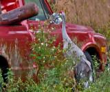 Sandhill Crane and Pickup Truck Mirror