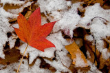 Fall Leaf and First Snow