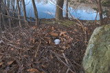 Canada Goose Nest and Eggs