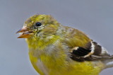 Goldfinch Molting into Summer Plumage--Up CLose (and Eating)