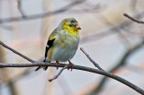 Goldfinch Molting into Summer Plumage