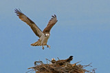 Osprey Landing on Nest with Small Fish