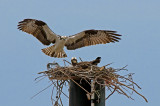 Ospreys Have Returned and Are Nesting (in VA)