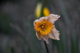 Spring Is Ending for this Daffodil