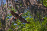 Cormorants and Limpkins