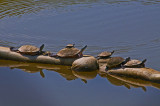 Turtles Sunning on Potomac