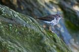 Spotted Sanderling