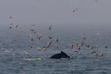 Megaptera novaeangliae - Humpback Whale