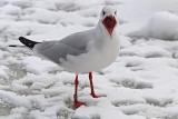 Black-headed Gull M[IA114104] Hiddensee